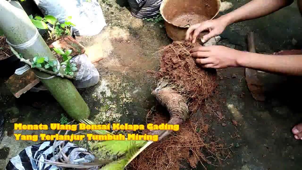 Menata Ulang Bonsai Kelapa Gading Yang Terlanjur Tumbuh Miring