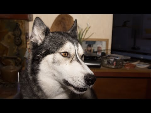 Husky/Malamute Must Sing to Advert But Also Needs Treat