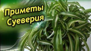 видео Лилии - залог пышного цветения лилий