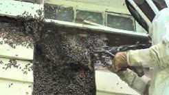 Buzon Honeybee Removal