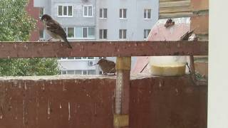 Воробьи в городе на балконе. Кормление птиц...