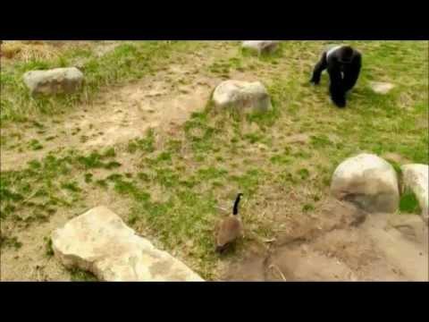 Gorilla vs Goose (Fighting)