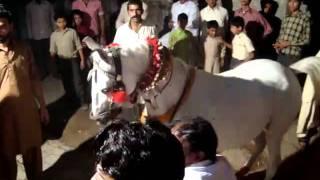 gullam abbas wedding horse dance