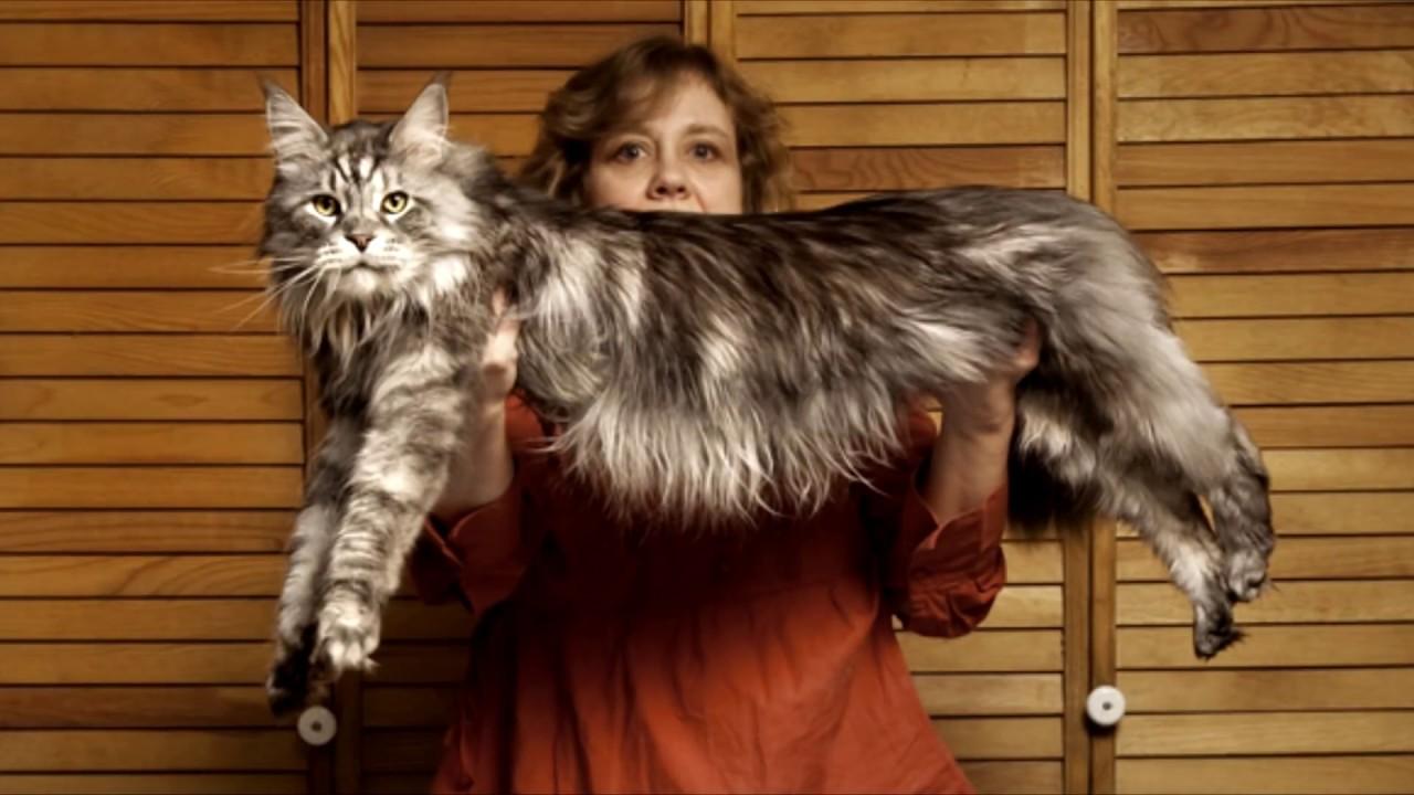 топ самых больших кошек мира