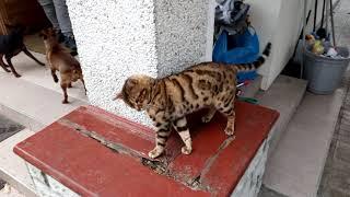 Бенгальский Кот как кот