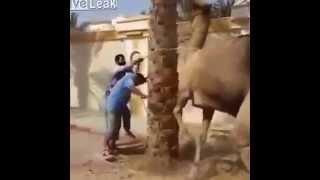 らくだの逆襲 the camel Revenge