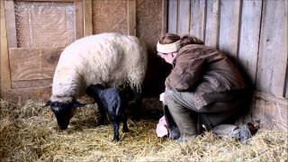 Ewe Lambing