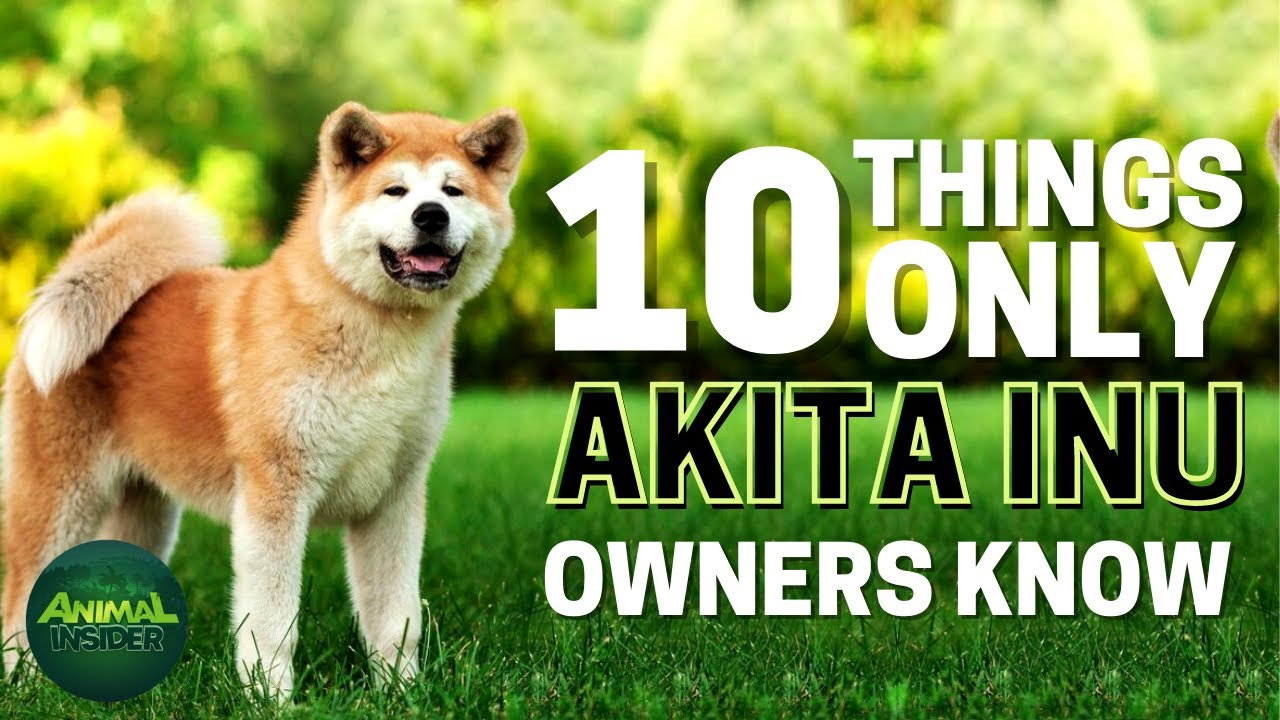 Download 10 Things Only Akita Inu Dog Owners Understand