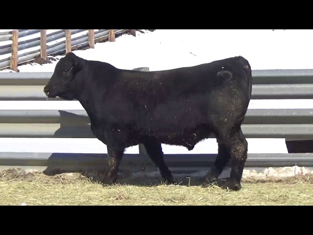 Connealy Angus Lot 442