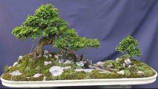 Large Flowering Tea Tree (Fukien Tea)