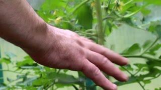 Опыление томатов(Что необходимо знать и как помочь опыляться самоопыляющимся томатам., 2016-06-30T12:28:30.000Z)