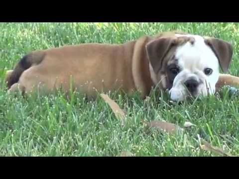 coco and trixie 10 week old english bulldog puppies - YouTube