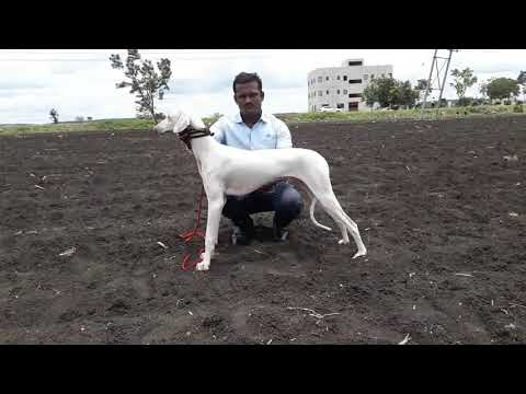 Mudhol Hound 7 Months old for sale contact 09900919662