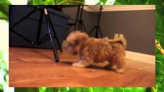 Chocolate/yo Chon Puppies | Buck-chuck-meatball-boston-dallas