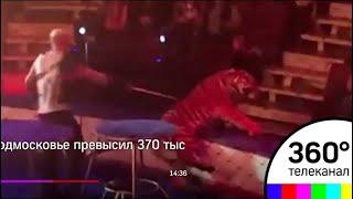 На выступлении в Магнитогорске цирковой тигр потерял сознание