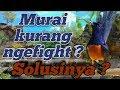 Suara Masteran Murai Batu Medan Kicau Ocehan Ngebren(.mp3 .mp4) Mp3 - Mp4 Download