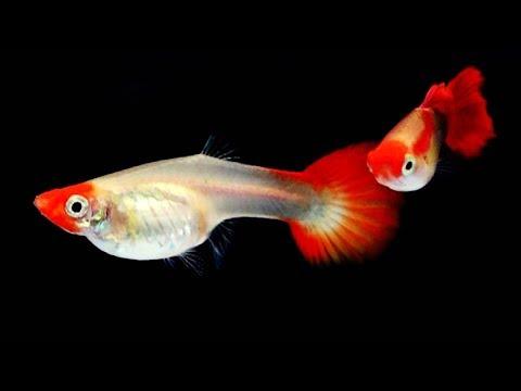 2018.11.11第12屆世界孔雀魚競美大賽 12th World Guppy Beauty Competition