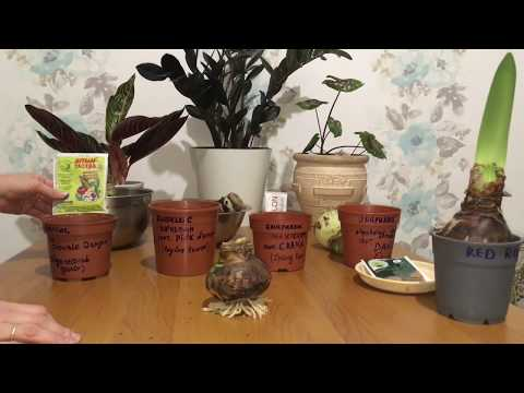 Амариллис (Гиппеаструм) после спячки (покоя), посадка, цветение