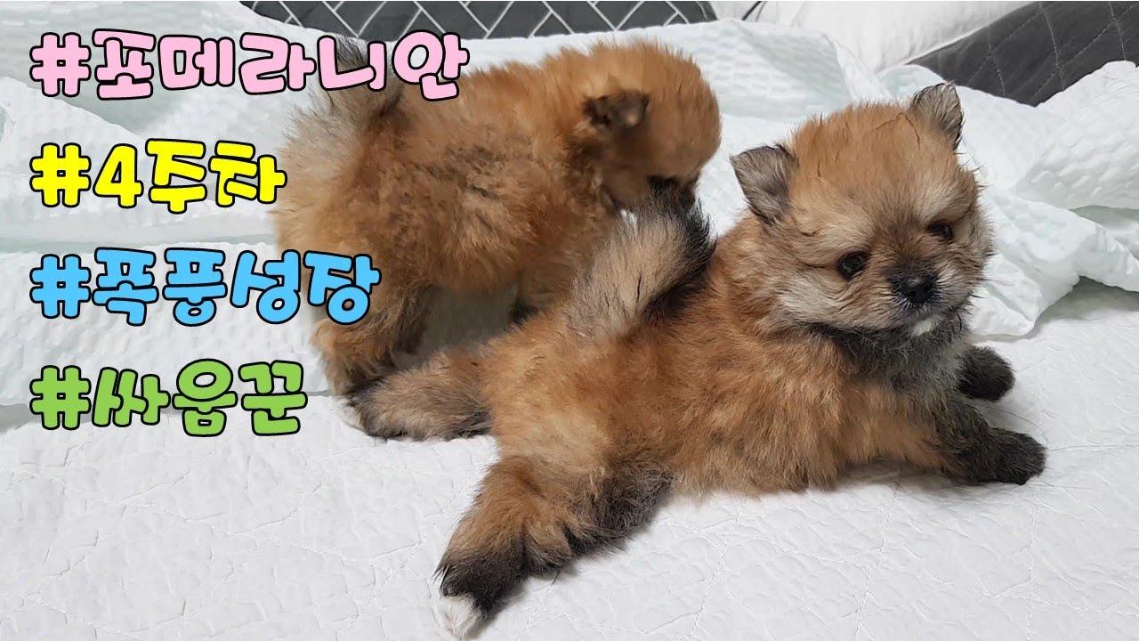 한달된 포메라니안 새끼 동네 싸움꾼으로 폭풍성장!!ㅣBaby Pomeranian