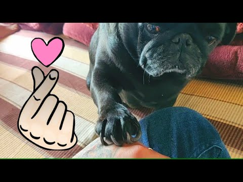 CUTE BLACK PUG DOG ASKING FOR INFINITE LOVE FROM OWNER