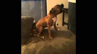 Boxer Dog Accidently Eats Weed Brownies
