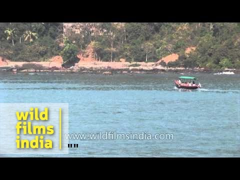 Rare sight of dolphins in Mandovi River in Goa