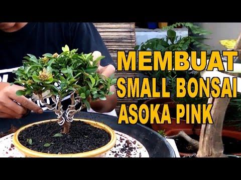 Membuat Small Bonsai Asoka Pink Bahan Ke 2 Youtube