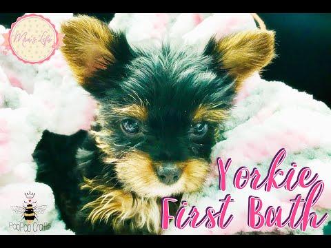 🐻 Cachorro Yorkie primer baño | Yorkshire Terrier bebé | Yorkie first bath | Puppy Yorkie | Puppies