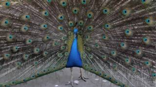 Dead Sexy Peacock Is Horny! Canon 7D video