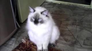 Невский маскарадный кот Ден Лотос. Брутальный романтик. (20180814)
