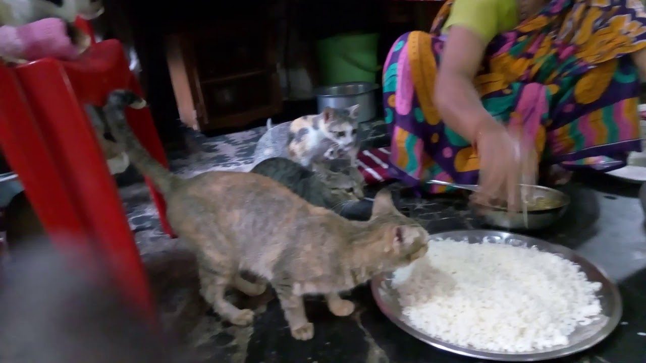 indian cats 1 - YouTube