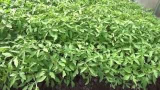 #Рассада_помидор в теплице.(В одном из видео, мы показывали как мы подготавливали и сеяли #семена #помидор в #теплице. Прошло 45 дней и..., 2014-04-28T08:13:22.000Z)