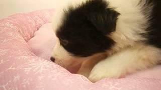 生年月日:2015/11/25 性別:♀ カラー:ブラック&ホワイト.