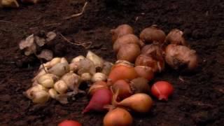 видео Луковичные цветы