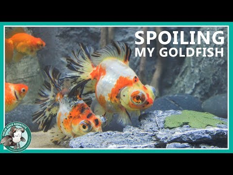 Feeding My Goldfish - The Fun Way!