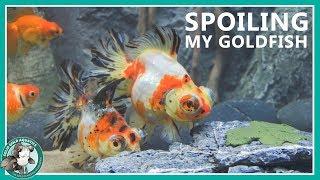 Feeding My Goldfish - the fun way!