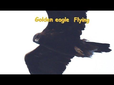 イヌワシ Golden Eagle 中部の山 10月初旬 野鳥FHD 空屋根FILMS#1106