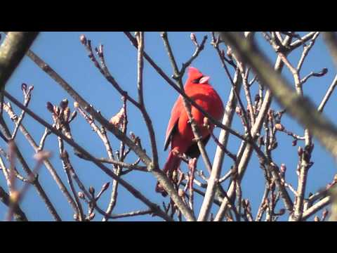 Northern Cardinal Singing Close-up Finale with Thunderstorm in HD