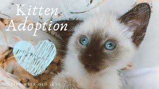 Siamese Kitten Adoption: First Week With Skye