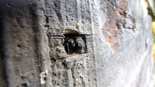 Пчела-плотник на посту у входа в свое жилище.