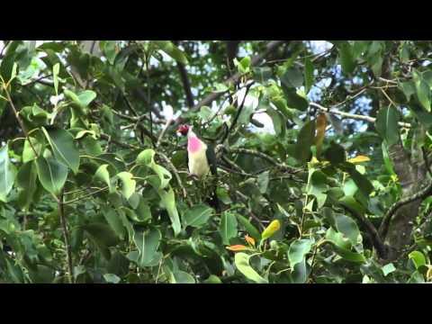 Jambu Fruit Dove(Male)- Singapore