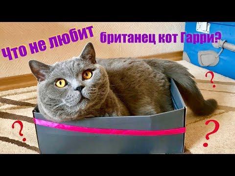 Что НЕ любит британский кот? 1 часть / British Cat Harry