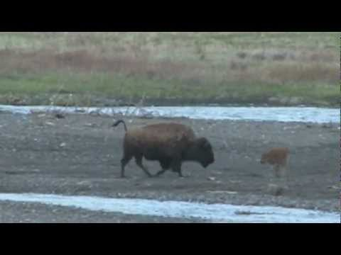 Wolf vs Bison calf at Yellowstone National Park, Soda Butte, Lamar Valley