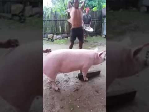 Foto Babi Di Potong Babi Di Potong Youtube