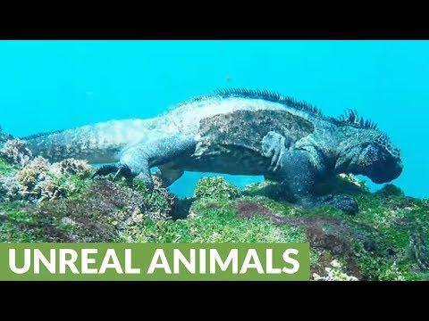 These diving marine iguanas look like a prehistoric Aquaman!