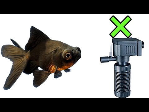 How To Care Black Gold Fish