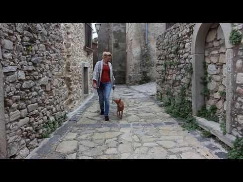 Cicco, cirneco dell'Etna puppy. Sicily. Montalbano