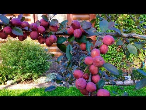 Вопрос: Что надо делать, чтобы снег не ломал саженцы яблони?