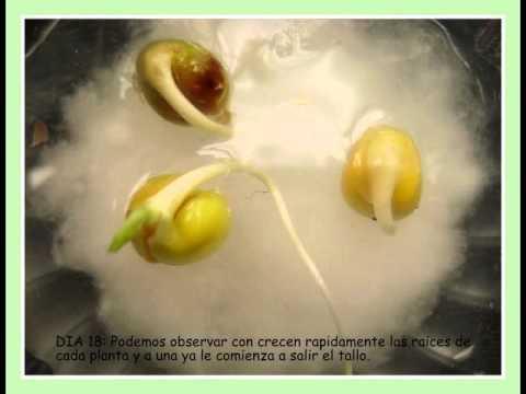 Germinacion de una planta youtube for Sembrar maiz y frijol juntos