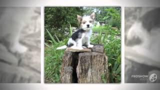 Бивер йоркширский терьер порода собак